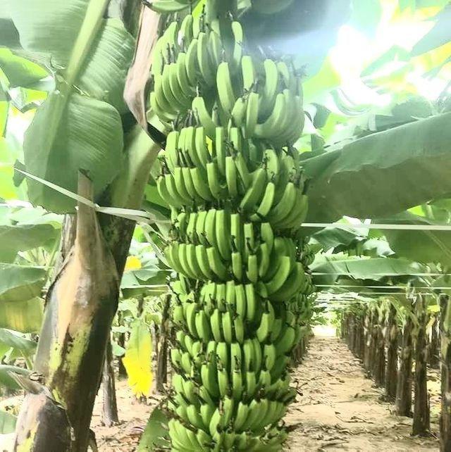 banana-plants-banana-trees-and-how-to-grow-info-121.jpg