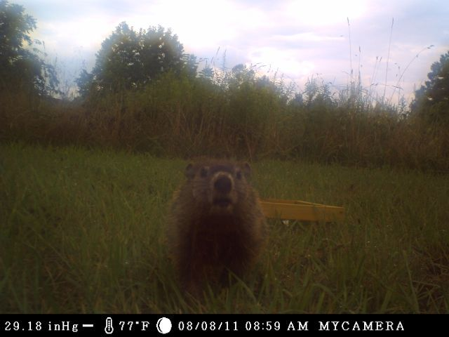Groundhog in camera_reduced.jpg
