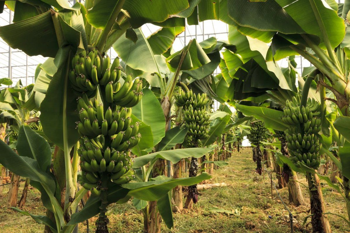 zone-9-banana.jpg